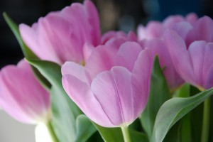 Pink tulips - Vow Renewals - Marriage Celebrant Gold Coast